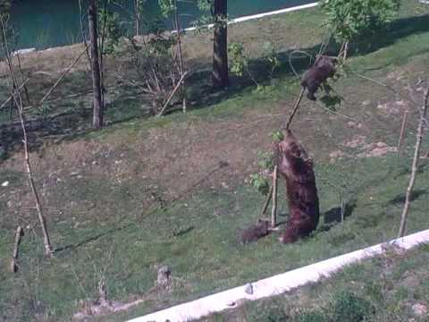 Mama Bear, Björk, is trying to shake a baby bear from a tree in Bärenpark Bern