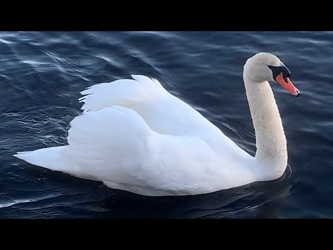 Mute swan (cob) protects his mate from geese while feeding (Royal Swan and Polish Swan)
