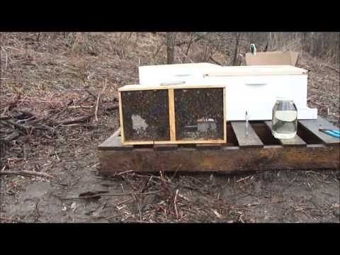 Beginning Beekeeping: introducing bees to new hive