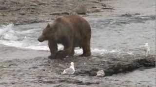McNeil River Alaska Brown Bear Charge. Monster Trophy Class Brown Bear