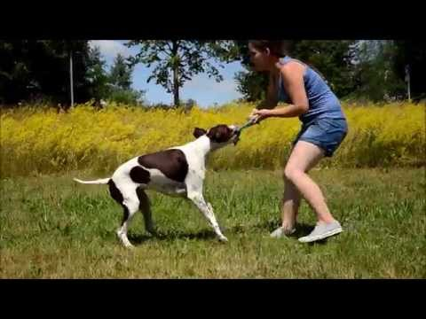 Amazing Dog Tricks by Morgan the English Pointer