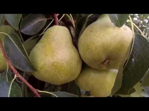 Pear Farm In Australia .  Vườn Lê ở Úc