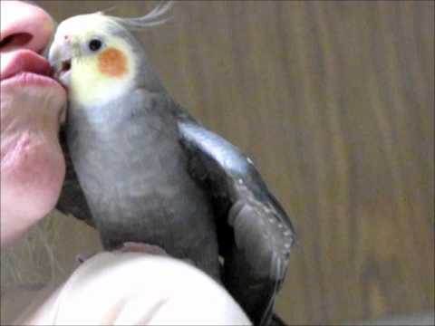 NEW - My Cockatiel Talking, and telling the world how it is.