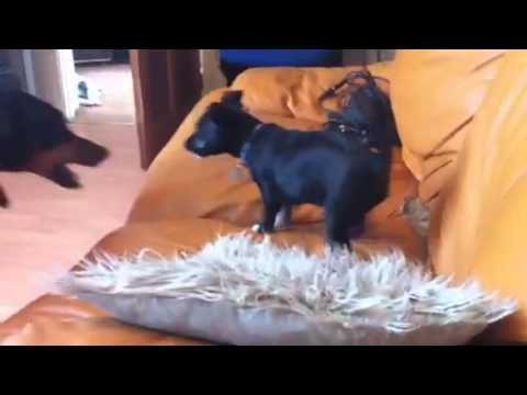 Doberman and Patterdale x chihuahua puppy