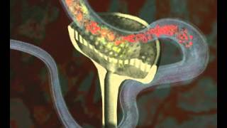 GCSE Science Revision - Homeostasis - How your Kidneys Control Water content in Humans