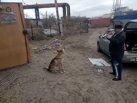 Поющий бездомный пёс. Улан-Удэ