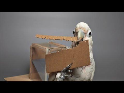 Todella viisas lintu rakentaa itse työkalunsa – Pakko saada tuo herkku!