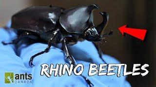 Video I Raised Massive Rhino Beetles MP3, 3GP, MP4, WEBM, AVI, FLV Agustus 2019