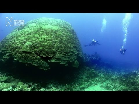 Join a dive to see the largest corals on Earth