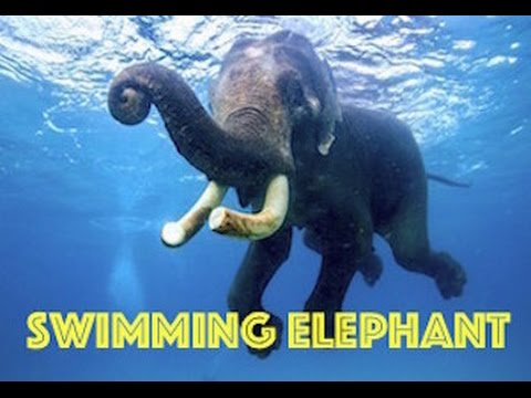 Swimming Elephant HD by Freedom Divers, Phuket