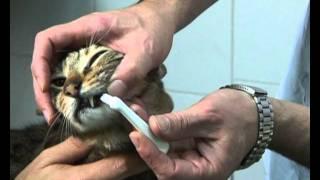 צחצוח שיניים לחתול