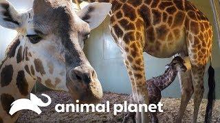 O incrível parto de uma bebê girafa  A Família Irwin  Animal Planet Brasil