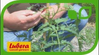 Pflege von Tomaten im Freiland