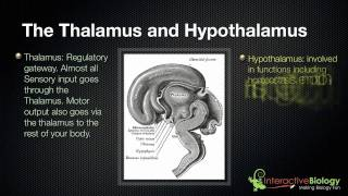 028 The Thalamus And Hypothalamus