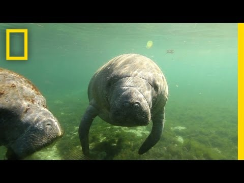 natural - Manatees glide through warm waters in and around Three Sisters Springs in Crystal River, Florida, a winter shelter from colder ocean temperatures. In the heart of Florida's Gulf Coast lies...
