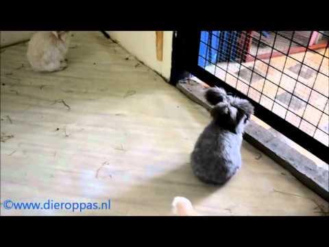 Angora's in het pension voor konijnen