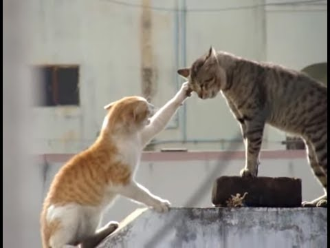 catfighting - A fight between two cats recorded lively.