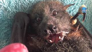 Juvenile flying-fox eats grapes:  this is Leo