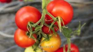 New varieties of tomatoes and peppers