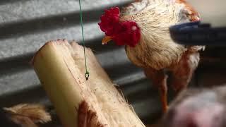 Video Producing native chicken for Market MP3, 3GP, MP4, WEBM, AVI, FLV Agustus 2019