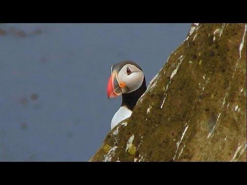 الغوص مع طيور البافين في ايسلندا هواية جديدة - فيديو