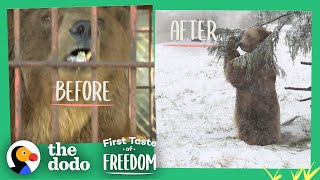 Bear Who Spent His Life In A Cage Is Thrilled To Play In Snow  | The Dodo First Taste Of Freedom by The Dodo