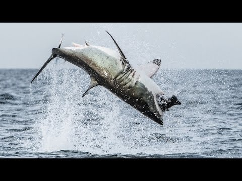 Great - Flying Shark: Great White Breaches Off South Africa's Coast SUBSCRIBE: http://bit.ly/Oc61Hj We upload a new incredible video every weekday. Subscribe to our ...