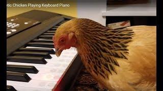 Gà chơi Piano: Got Talent America's