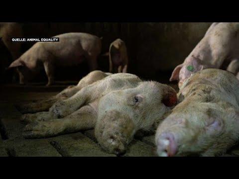 Video zeigt schrecklich leidende Schweine: Tierschützer schlagen Alarm