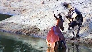 Fascinating video of Wild Dogs using tactics to hunt a pregnant impala. Very graphic as one can see the baby coming out of the mothers stomach as the wild do...