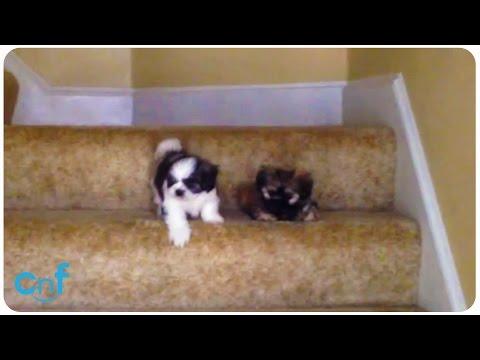 今天是這對狗狗兄妹學下樓梯的挑戰日,注意看右邊那隻怕到要死的小狗如何驚動全家幫忙吧!