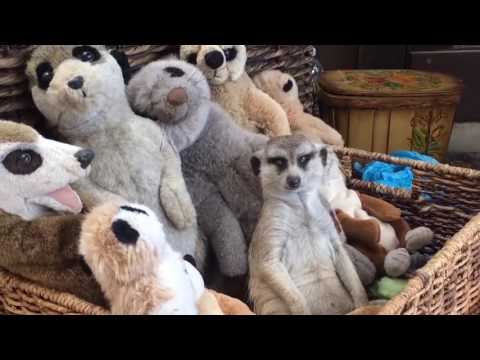 Sleepy Meerkat Enjoys A Basketfull of Stuffed Toys