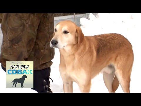 Русская гончая. Планета собак