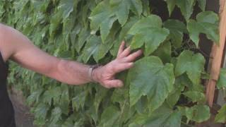 Watch How To Select Climbing Plants from the world's leading how to specialist. This tutorial will give you informative instructions...