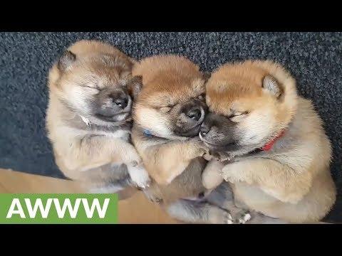 cuccioli-di-shiba-inu