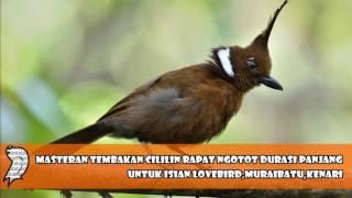 Masteran Tembakan Cililin Rapat Ngotot Durasi Panjang Untuk Isian Lovebird,Muraibatu,Kenari