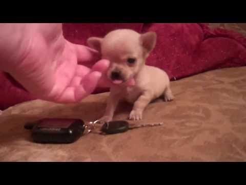 Micro Pocket Teacup Chihuahua** Female** Apple head  Buttercup Baby Houston Texas 2 lbs grown