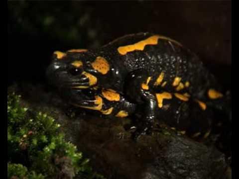 Salamandra común (Salamandra salamandra) Linnaeus,1758 - Fotos