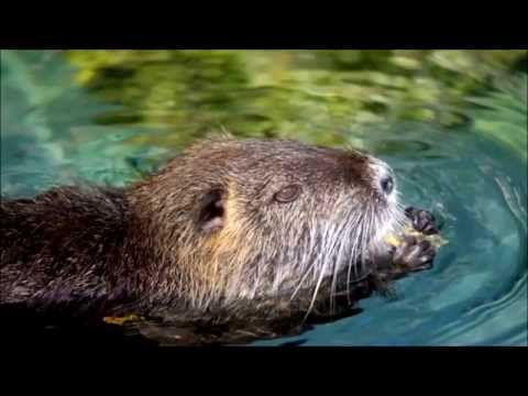 Amazing Facts & Footage Of Nutrias (Coypu)