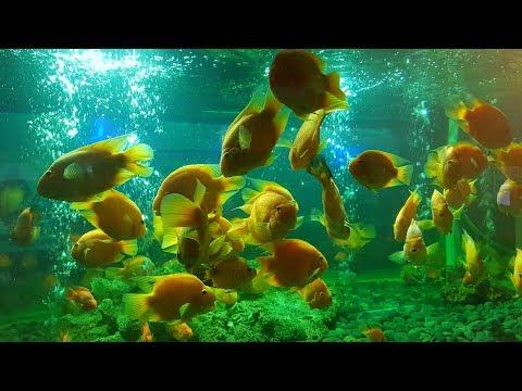 Ikan Ikan Muka Lucu dalam Aquarium Funny Face Fish