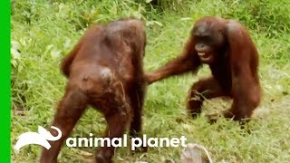 Orangutans Fight For Dominance While Leader Hamlet Is Trapped | Orangutan Island by Animal Planet