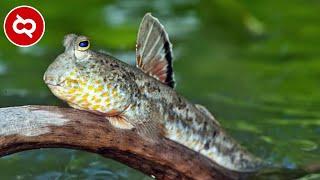 Video Bisa Hidup Tanpa Air..? 10 Ikan Ajaib ini Bisa Berjalan Dan Hidup Di Darat MP3, 3GP, MP4, WEBM, AVI, FLV Januari 2019