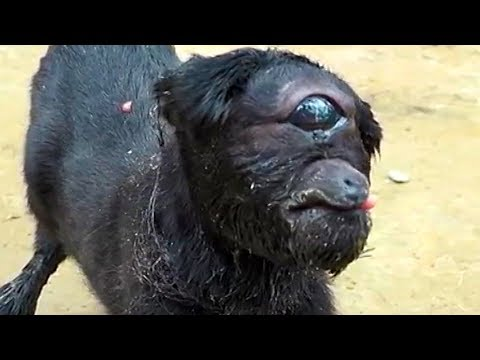 The Truth Behind The Cyclops Goat