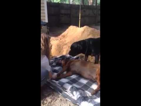 Poor dog doesn't understand why they want to bury his sleepy brother.
