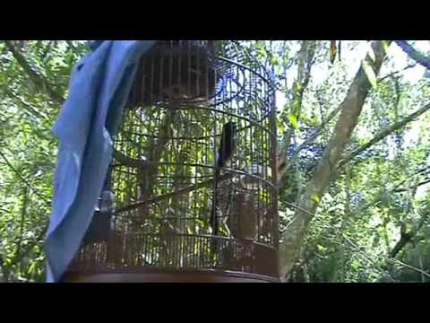 Murai Batu (Shama) Vs Wild Shama ( Video 04)