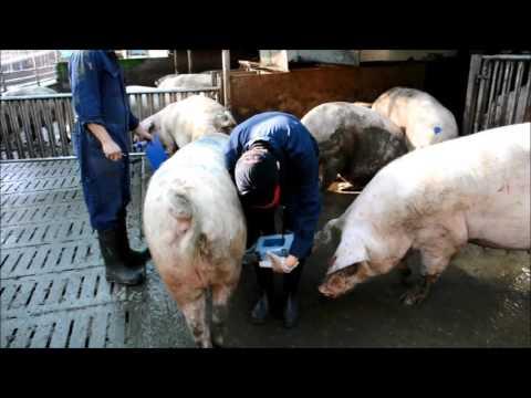 Raphaela Blum - Ultraschall-Untersuchung am Schwein