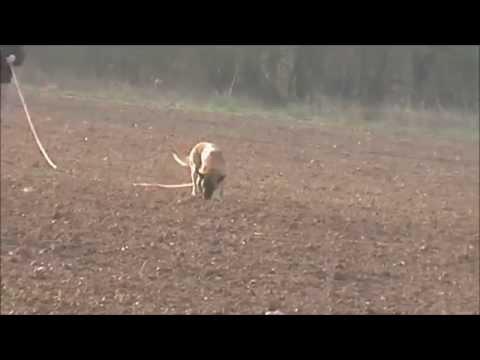Ates li´Mavi Boncuk IPO 2 - 90 / 98 / 96 (видео)