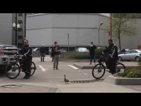 鴨媽媽帶著12隻小鴨穿越繁忙的市中心,但市民們一看見後面跟著的「左右護法」就全被融化了!