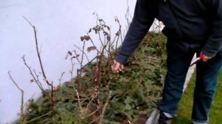 #321 Schneiden im Garten 2011 Herr Inderkum 1v10 - Schnitt einer Beetrose
