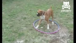 Dizzy dog plays with hula hoop